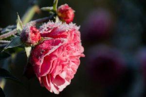 erwintern von rosen pflanzen