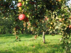 Apfelbaum für den garten