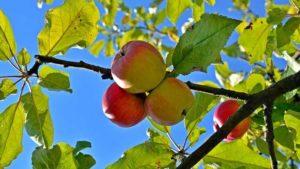Apfelbäume für den Garten