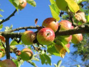 Apfelsorten für Hobbygärtner