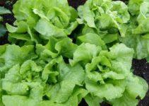 Blattsalat Anbau Garten