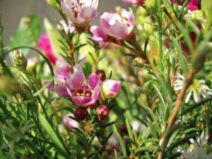 Heidepflanzen richtig zurückschneiden