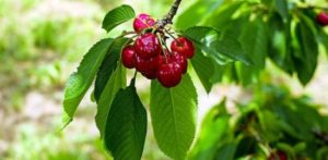 Kirschbaum-Sorten für den eigenen Garten