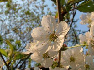 Kirschbaum fuer den Garten