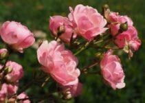Pflege von Rosen