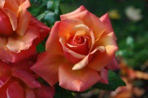 Rosen Aufzucht