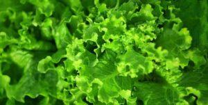 Salatsorten fuer den eigenen Garten