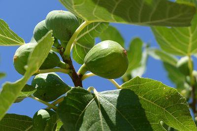 Feigenbaum pflanzen