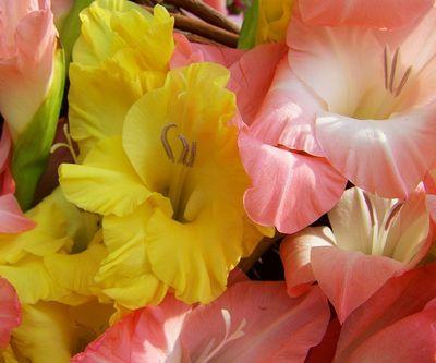 Gladiolen im Topf pflanzen (1)