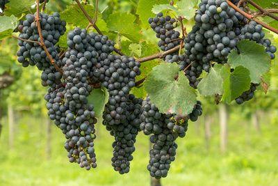 Pflege der Weinreben