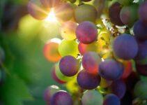 Weinreben pflanzen