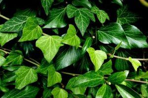 Efeu pflanzen