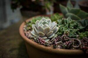 Hauswurz pflanzen