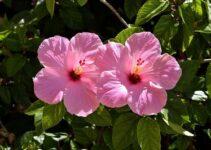 Hibiskus pflanzen: Anbau, Standort & Pflege