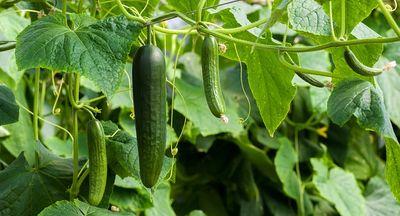 Salatgurken pflanzen