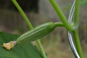 Schlangengurken pflanzen (1)