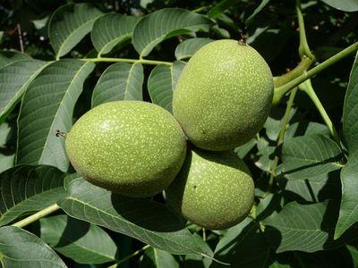 Walnussbaum pflanzen